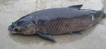 Kỹ thuật nuôi cá trắm đen