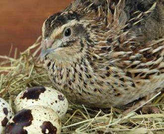 Chim cút sinh sản