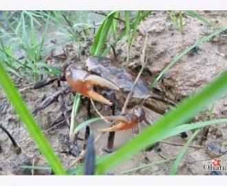 Kỹ thuật nuôi cua đồng ngay trong ruộng lúa