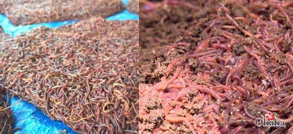 Thức ăn cho giun trùn quế cần được chuẩn bị sẵn sàng