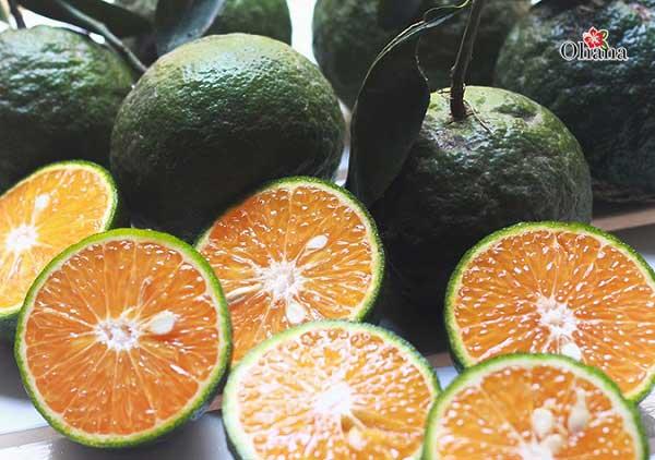 Thu hoạch và bảo quản cam sành