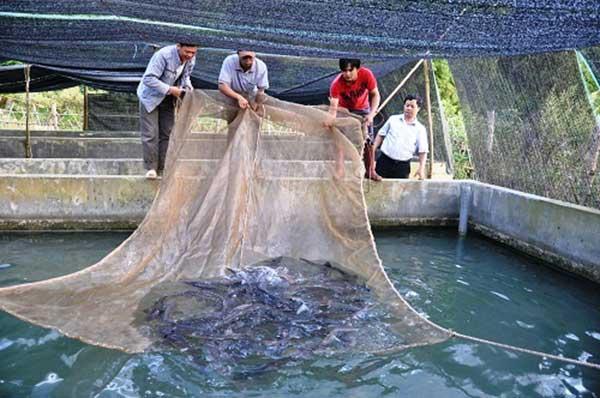 Thu hoạch cá trắm đen vào những dịp cao điểm cho thu nhập cao hơn