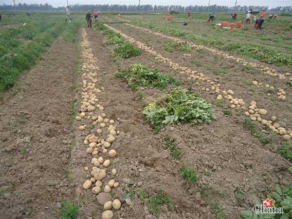 Xử lý kỹ đất trước khi tiến hành trồng