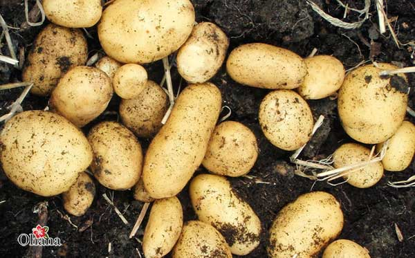 Kỹ thuật trồng khoai tây