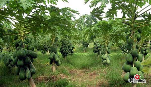 Kỹ thuật trồng đu đủ không quá phức tạp