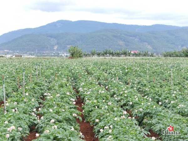 Vườn khoai tây phát triển xanh tốt