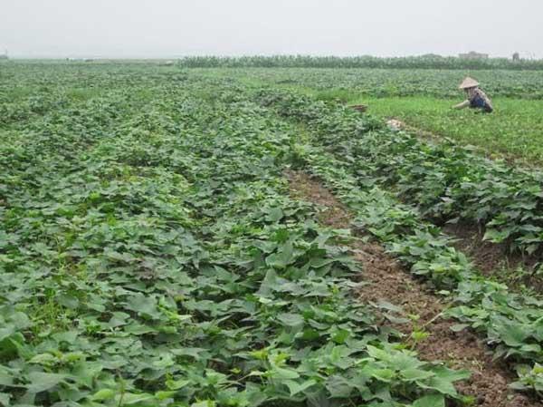 Vườn khoai tây xanh tốt