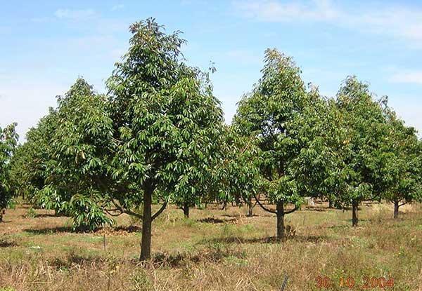 Hướng dẫn trồng sầu riêng