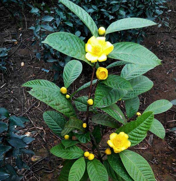Kết quả hình ảnh cho kỹ thuật trồng trà hoa vàng
