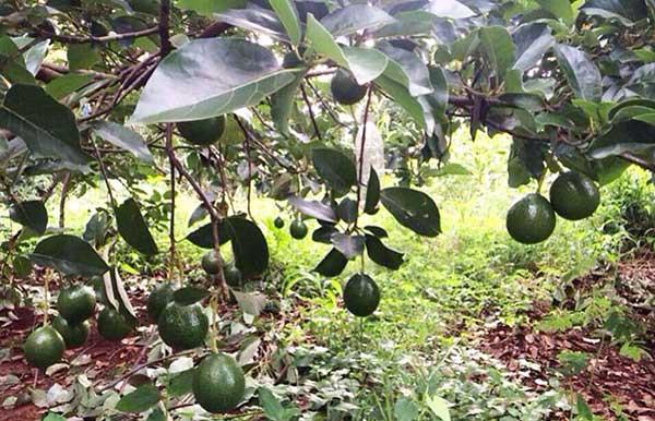 Chế độ nước đầy đủ cây sẽ cho nhiều quả hơn