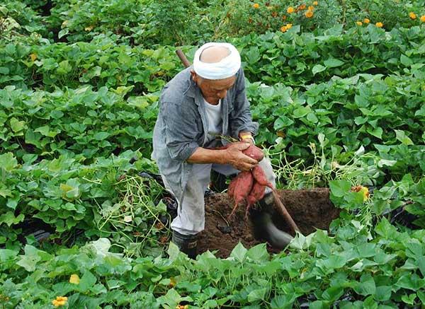 Ươm trồng khoai tây