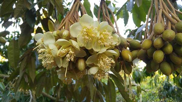 Sầu riêng nở hoa đẹp