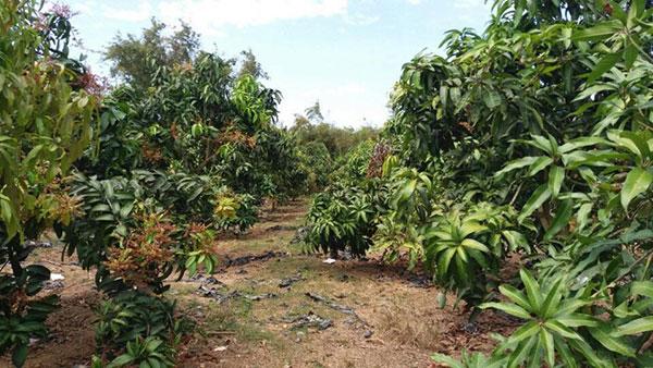 Chuẩn bị đất vườn trồng xoài