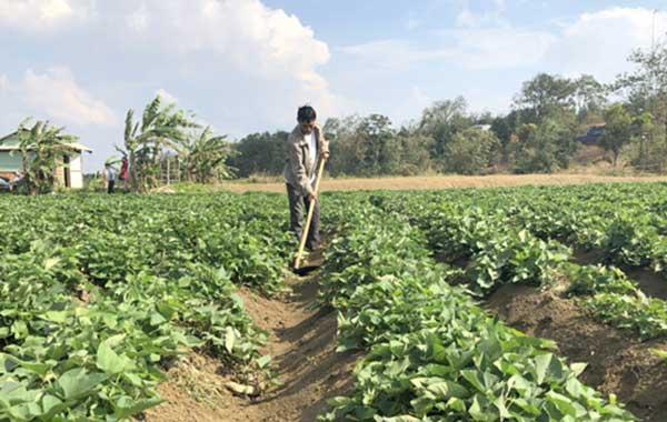 Vun trồng luống khoai lang