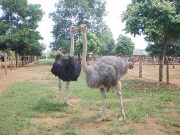 Chọn giống đà điểu phù hợp với điều kiện nuôi