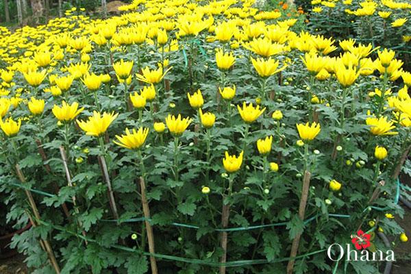 Kỹ thuật trồng hoa cúc