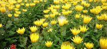 Hoa cúc ra hoa đẹp
