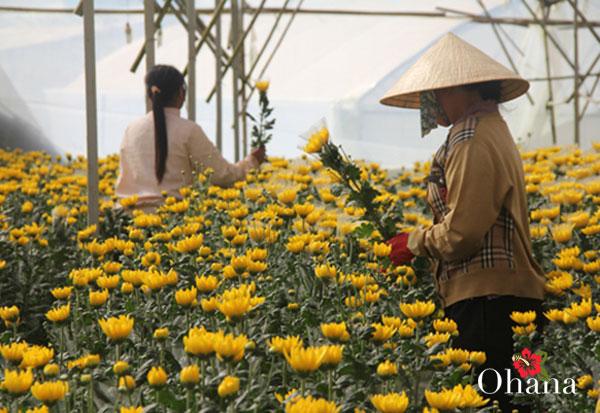 Thu hoạch hoa cúc đúng dịp cho hiệu quả kinh tế cao