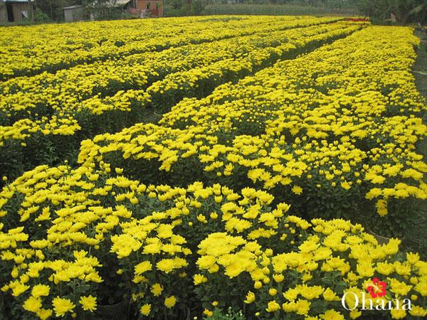 Vườn hoa cúc bội thu