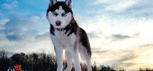 Husky rất thông minh và trung thành