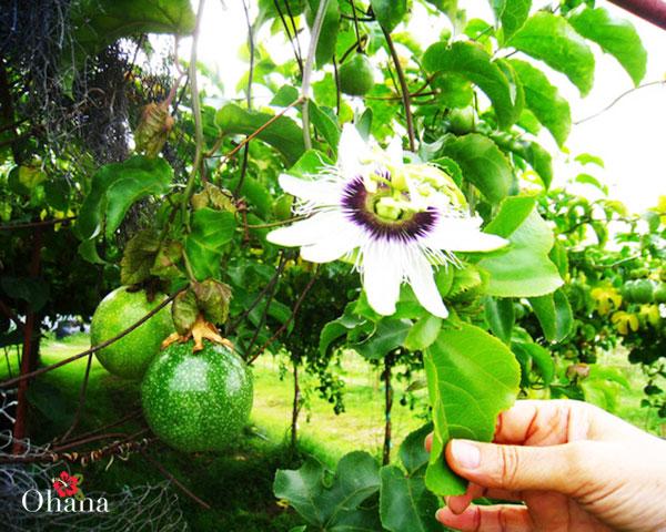 Chanh leo nở hoa