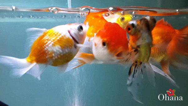 Chọn lựa giống cá bố mẹ trước khi ghép
