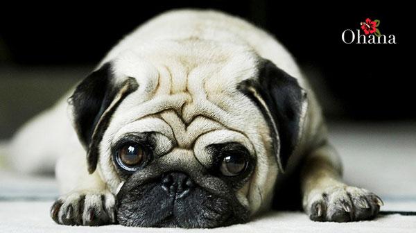 Chăm sóc chó pug