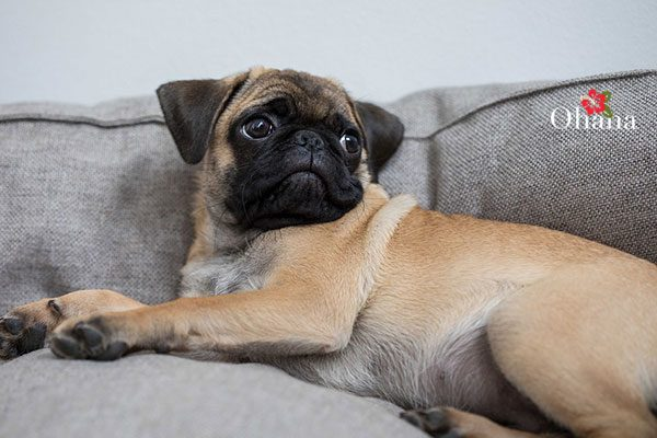 Kỹ thuật nuôi chó pug