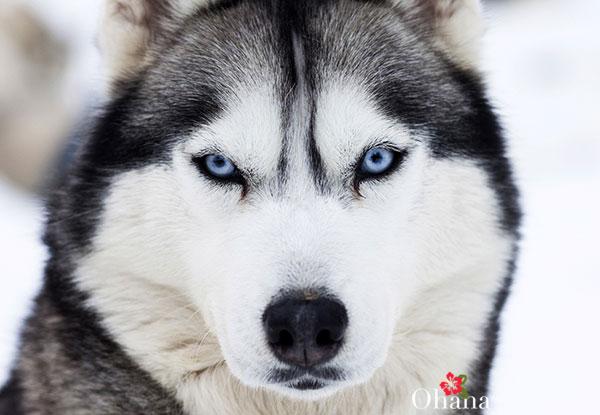 Đôi mắt Husky
