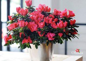 Hoa đỗ quyên nở đẹp