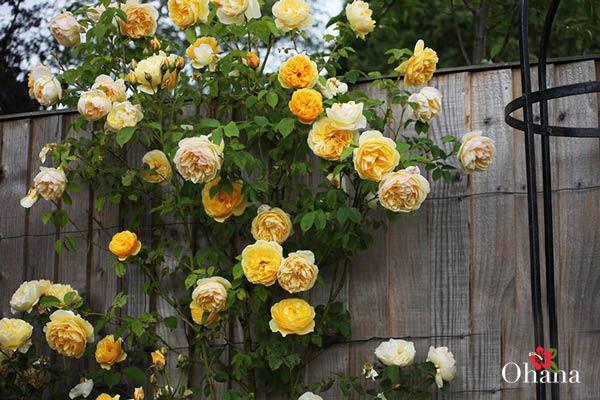 Trồng hoa hồng leo tại sân thượng