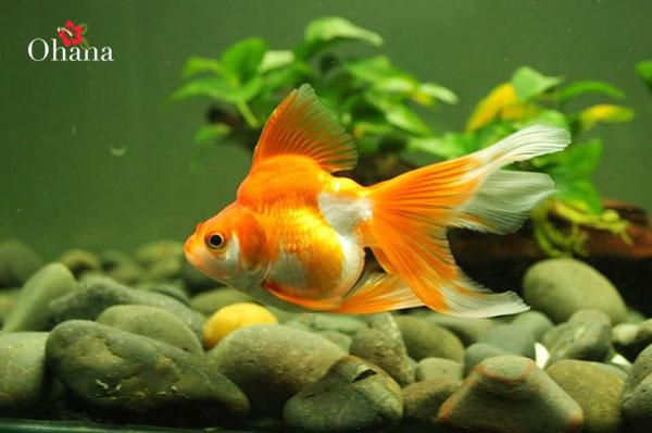 Cá vàng chuẩn bị sinh sản