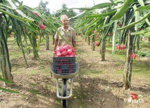 Kỹ thuật trồng thanh long