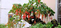 Kỹ thuật trồng cây lộc vừng