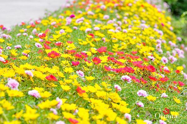 Chăm sóc hoa mười giờ