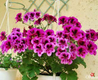 Cách trồng hoa phong lữ thảo