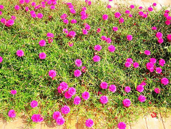 Cách trồng hoa mười giờ