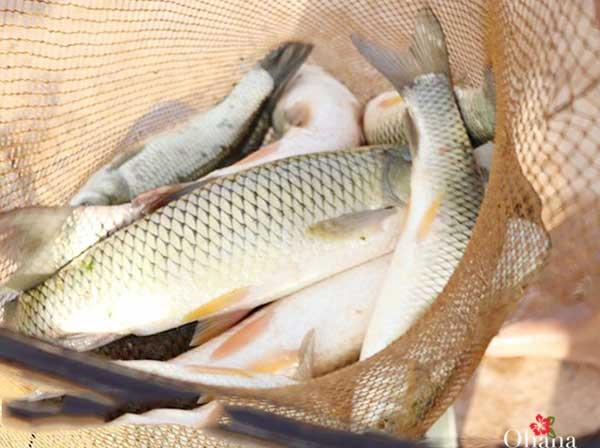 Thu hoạch cá