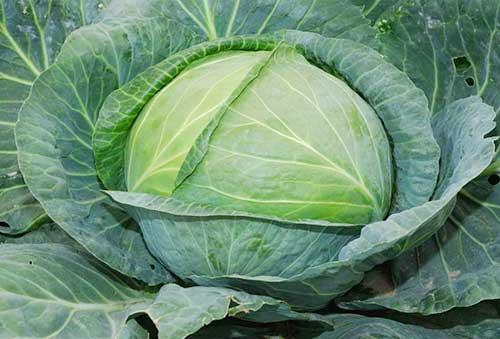 Hướng dẫn trồng bắp cải