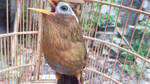 Kỹ thuật nuôi chim Họa Mi