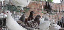 Hướng dẫn nuôi chim bồ câu Pháp