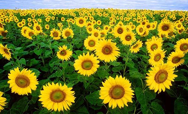 Kỹ thuật trồng hoa hướng dương