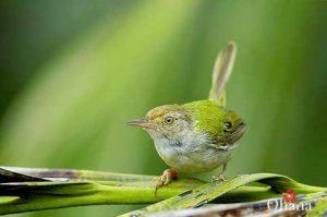 Cách nuôi chim sâu xanh
