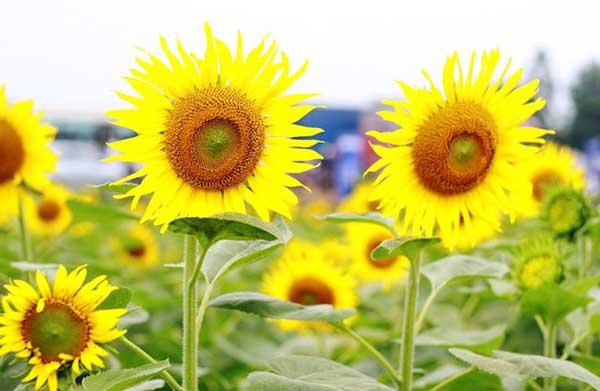 Chăm sóc hoa hướng dương