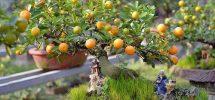 Kỹ thuật trồng quất