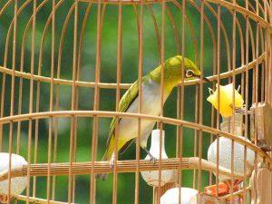 Kỹ thuật nuôi chim vành khuyên