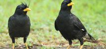 Kỹ thuật nuôi chim sáo