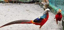 Kỹ thuật nuôi chim trĩ