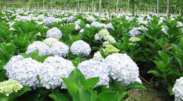Kỹ thuật trồng hoa cẩm tú cầu