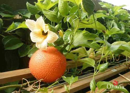 Kỹ thuật trồng gấc